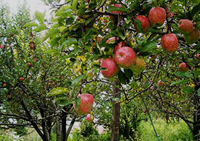 apple orchard, Bomdila